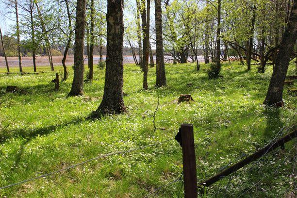 Espoonlahden ulkoilualue on ehkä kauneimmillaan kevätkukkien aikaan.