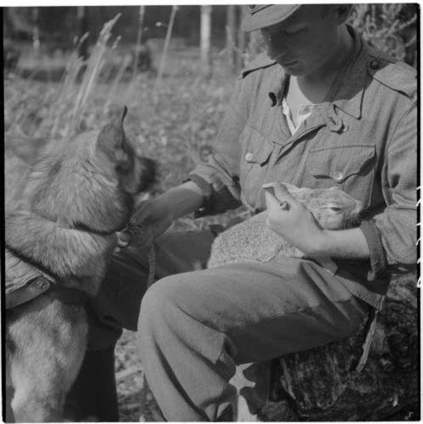 Sotakoirien toipilaskoti. Aamutuimaan nuuskitaan jänistä, mutta vain nuuskitaan. Sotakoiralla on tärkeämpää tehtävää kuin jäniksen ajaminen. Harlun seutu 8.31.1944