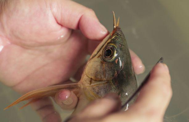 Kalojen kosmetiikkakirurgi Eugene Ng työssään tekemästä arapaimasta kauniinpaa Ark Aquatics -liikkeessään Singaporessa huhtikuussa 2018.