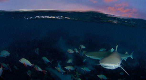 Harmaariuttahait on kuvattu Ranskan Polynesian vesissä.
