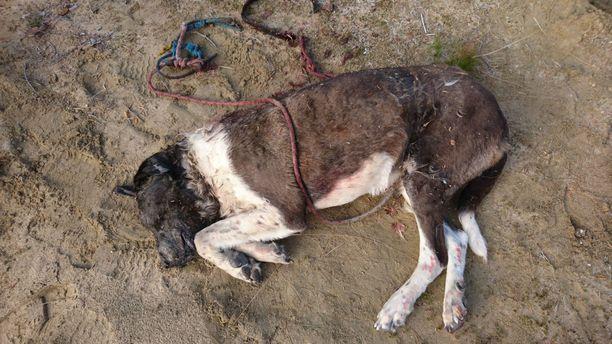 Ohikulkija löysi metsäalueelta soramontun läheltä puuhun sidotun ja ammutun koiran.
