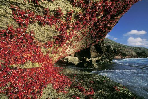 Punaiset maaravut vaeltavat vuosittain veteen lisääntymään.