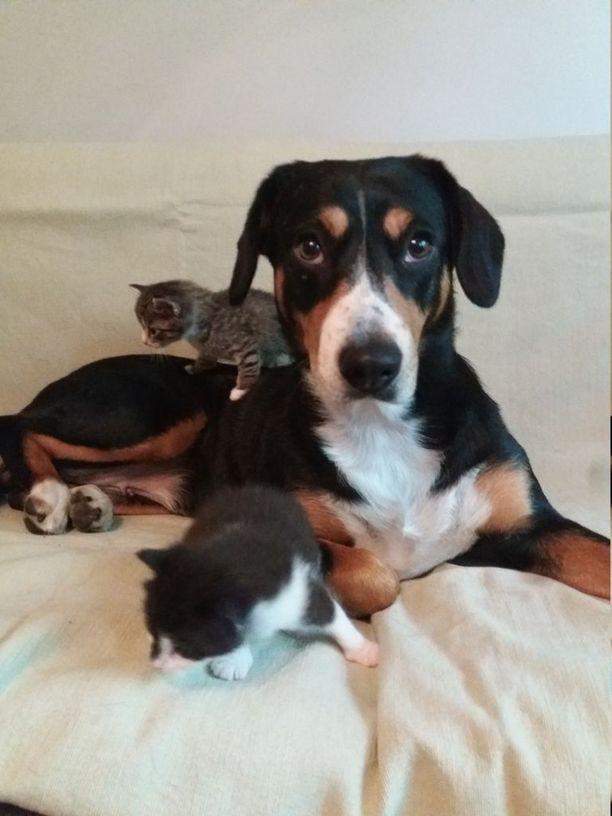 Hirra-koira on ollut innokas ja lempeä varaemo orpoina löydetyille kissanpennuille.