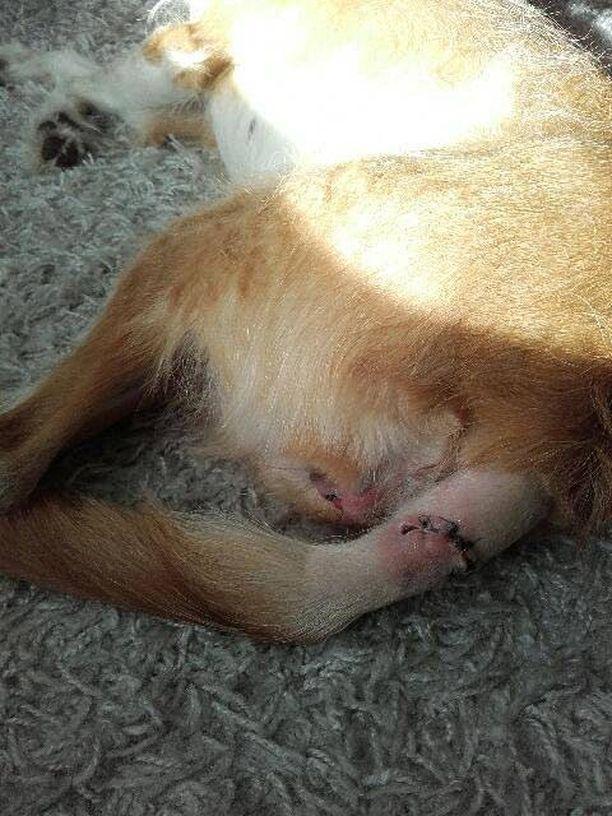 Hyökkäyksen jälkeen Helmi-koira on lähinnä nukkunut.