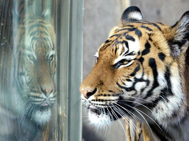 Bronxin eläintarhan malakantiikerillä on todettu koronavirustartunta. Kuvan tiikeri ei liity tapaukseen.