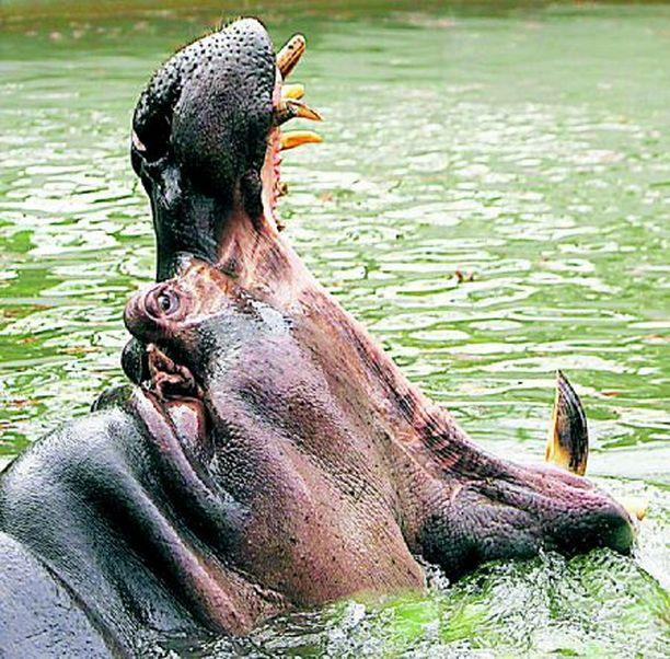 """Washingtonin eläintarhassa asustava virtahepo """"Happy"""" ei vaikuttanut viikonvaihteessa lainkaan onnelliselta. Nälkä oli ilmeisesti yllättynyt kolme tonnia painavan luontokappaleen."""