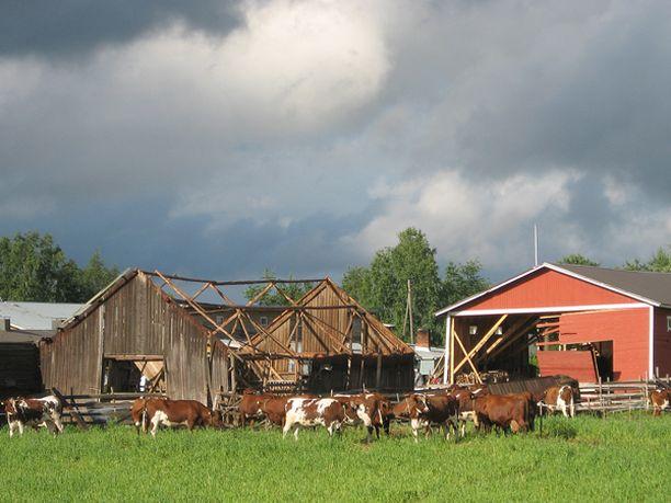 Ukonilmalla syntynyt trombi repi maatalon rakennuksia pirstaleiksi. Talon lehmät pelastuivat kaikeksi onneksi.