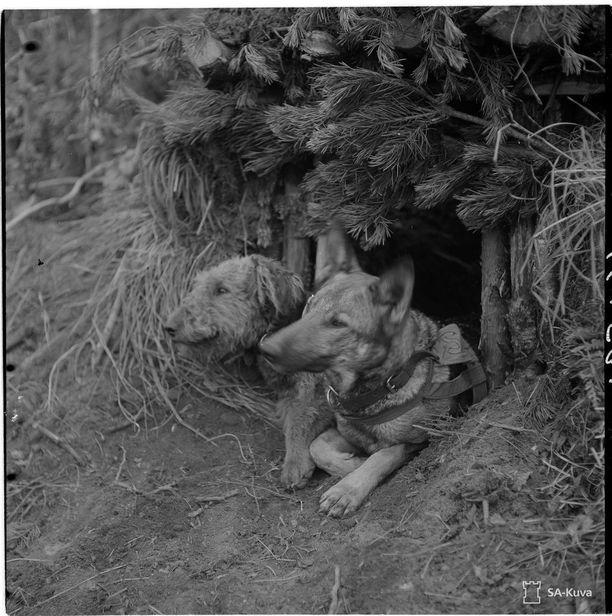 Rintamalta tulleita sotakoiria. Koirilla on oma poteronsa, jossa ne viettävät yönsä. Kaverukset odottavat hoitajiaan. Harlun seutu 8.31.1944.