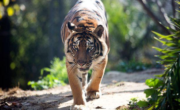 Vanhan kiinalaisen uskomuksen mukaan rohto, jossa on käytetty tiikerinluuta, vahvistaa ihmiskehoa. Kuvituskuva.