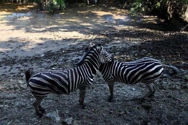 Kaksi seepraa pääsi ulos aitauksestaan ja seisoskeli kukkulalla eläintarhan alueella.