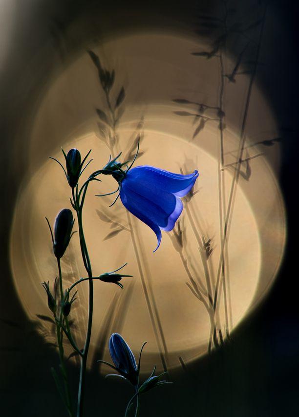 """Tässä on voittokuva. Tuomariston mukaan """"kissankellon raikas sininen kukka vangitsee katseen ja muodostaa hyvän vastakohdan rauhalliselle taustalle""""."""