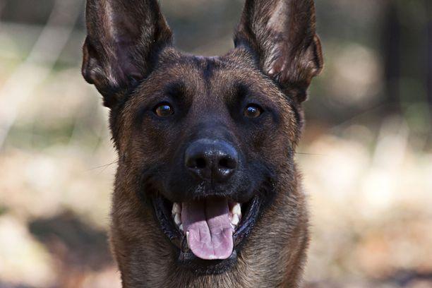 Kuollut Täsmä oli belgianpaimenkoira malinois. Kuvituskuvan koira ei liity tapaukseen.