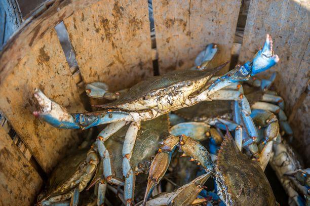 Tulokaslaji on tuhonnut tieltään alkuperäisiä lajeja Välimerellä.