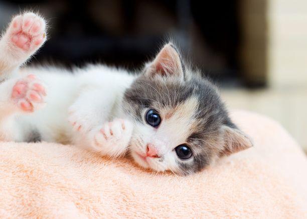 """""""Epäilen ja pidän todennäköisenä, etteivät kaikki pentujen myyjät ja lahjoittajat välitä tai ota selvää luovutusiästä. Kissan arvo yhteiskunnassamme on matala"""", Tua Onnela pahoittelee."""