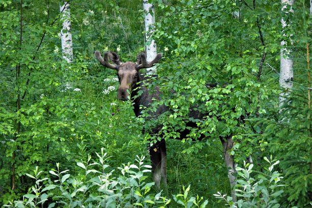 Kuvausten jälkeen hirvi paineli pusikon suojaan kurkistellen sieltä luontokuvaajaa.