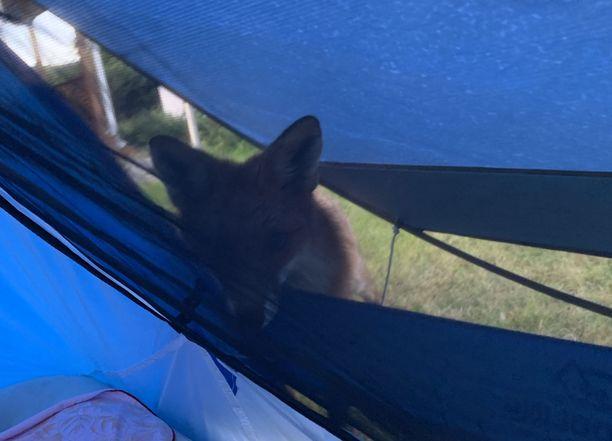 Kettu kurkki teltan verkotetusta oviaukosta.