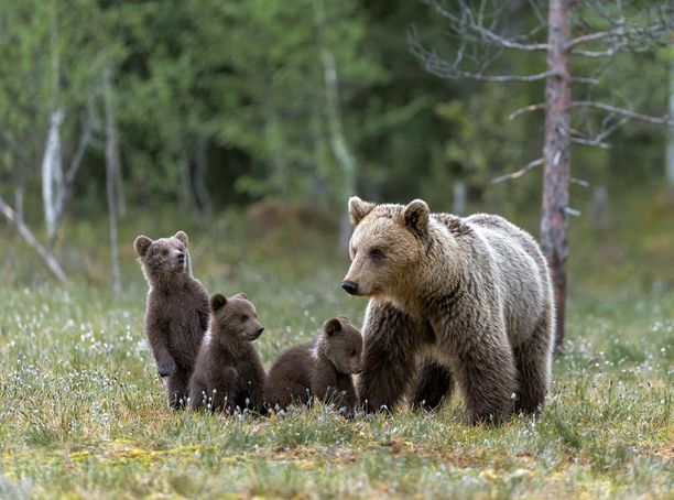 Kimmo Ohtonen seurasi tiiviisti karhuemon ja pentujen elämää kirjoittaessaan kirjaa Karhu - voimaeläin.
