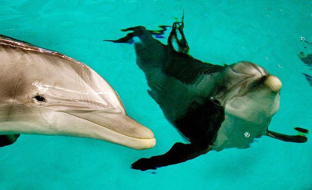 Särkänniemen delfiinit vietiin pois ilman läksiäisiä.