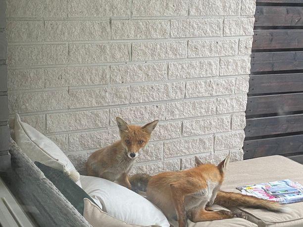 Asukas epäilee, että ketut ovat pitäneet majaa sohvalla jo kesän alusta asti.