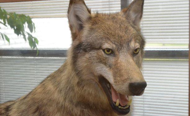 Ammuttu ja paloiteltu susi oli kuvan täytetyn suden sukulainen. Kuvan nuori uros ammuttiin Köyliössä toissa talvena.