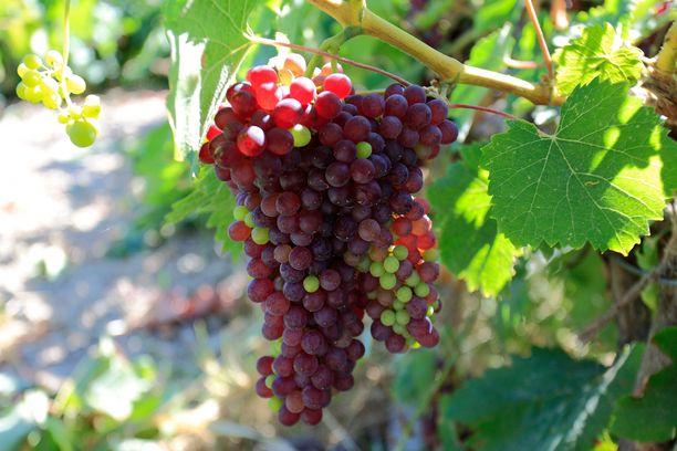 Kefalonialla viljellään viinirypäleitä ja tuotetaan laadukkaita viinejä.