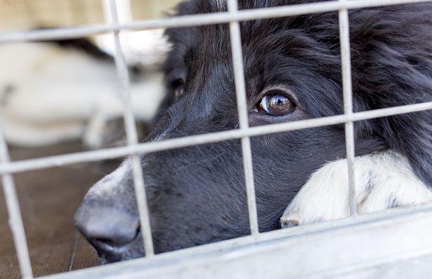 Koiratuomarina toiminut nainen sai syytteen eläinsuojelurikoksesta. Kuvituskuva.