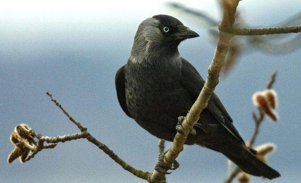 Naakka on varislintu, joka on yleistynyt Suomessa kovasti. Naakka on Varsinais-Suomen maakuntalintu.
