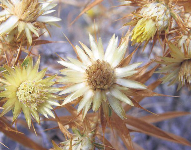 Kuivaa, mutta niin viehättävää kukkakauneutta polun varrelta.