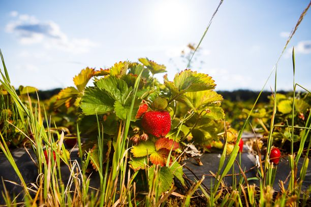 Osa mansikoista voi jäädä tänä kesänä peltoon, jos sopivia poimijoita ei löydy tarpeeksi. Kuvituskuva.