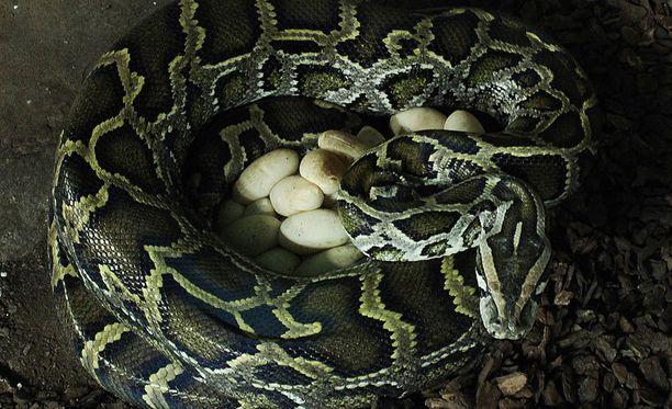 Suurimpiin jättiläiskäärmelajeihin lukeutuva tiikeripyton saattaa kasvaa lähes kuuden metrin pituiseksi.