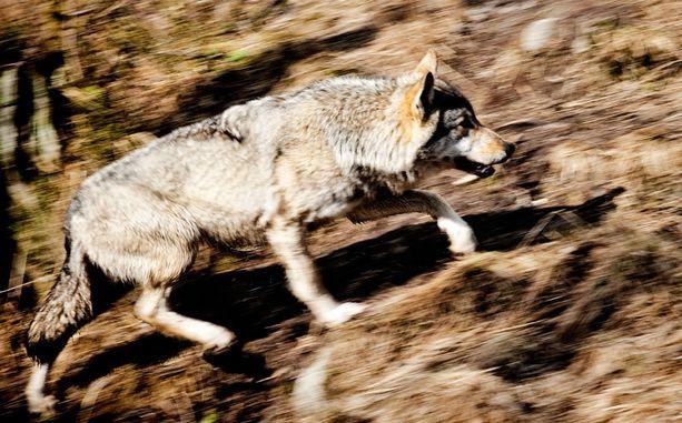 Susien harkittu metsästys alkaa ministeriön suunnitelmien mukaan tammikuussa. Kuvassa Ranuan eläinpuiston susi.