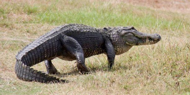 Alligaattori tepasteli Floridassa lähellä Kennedy Space Centeriä. Arkistokuva.
