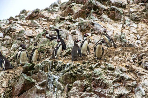 Ballestas-saaria on verratto Galapagossaariin. Pingviinejä niiltä löytyy runsaasti.