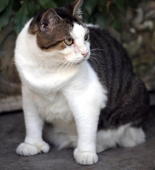 Hemingway sai Lumikki-kissan lahjaksi merikapteenilta. Myös useat sen jälkeläiset ovat kuusivarpaisia.