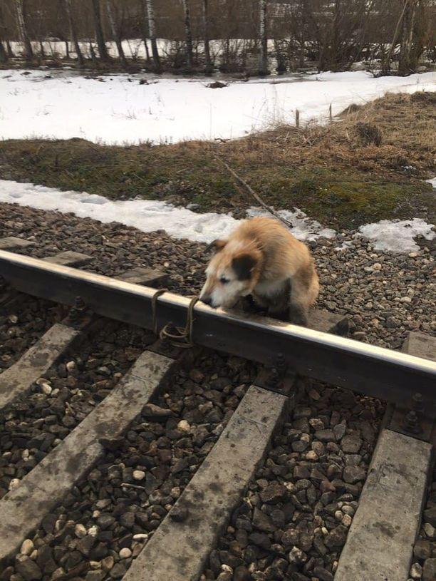 Koira oli jätetty kohtaamaan julma kuolema Pietarin alueella. Onneksi veturinkuljettaja ehti jarruttaa ajoissa.