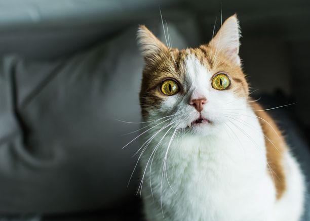 Jos tiedät, mitä tämä kissa ajattelee, olet kissakuiskaaja.