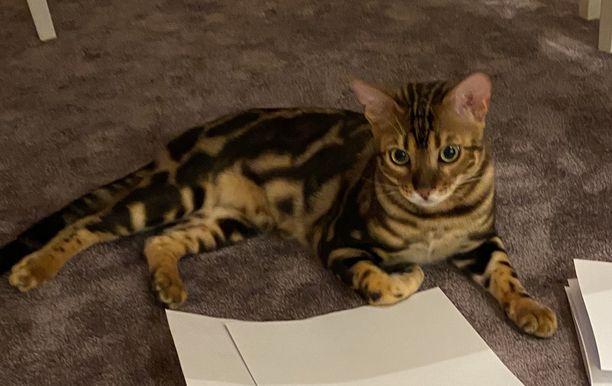Anna Kontulan kissanpentu Diego katosi Punkaharjulla, mutta löytyi torstaina.