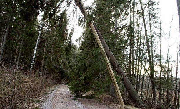 Puun runkoja koetellaan taas, kun myrskylukemiin nousevat tuulenpuuskat puhkuvat sunnuntaina ja maanantaina.
