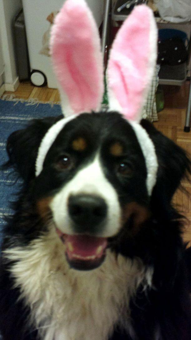Berninpaimenkoira Mona vietti synttäreitään pääsiäisenä juhlan henkeen somistautuneena.