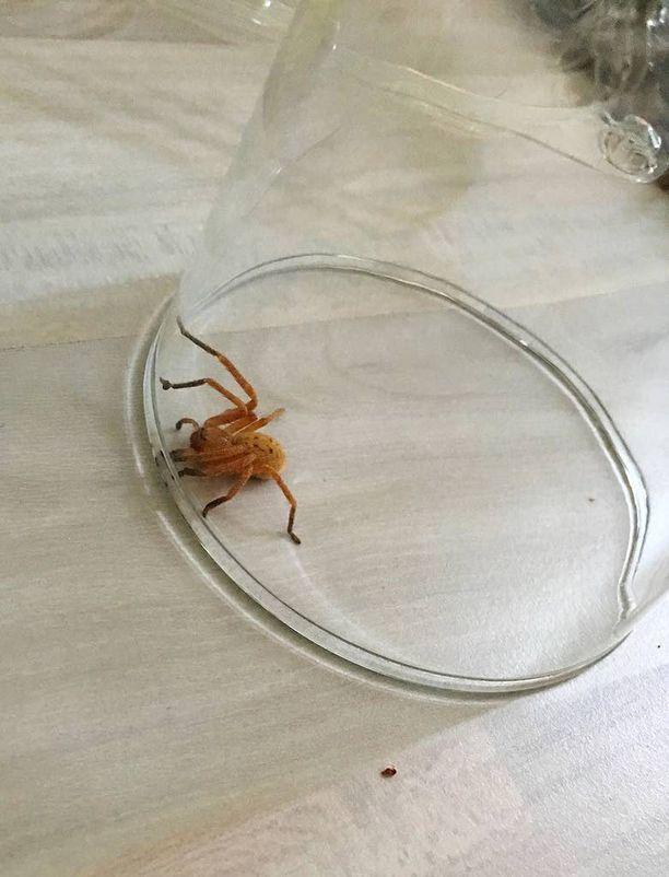 Eksoottinen hämähäkki suhtautui vankeuteensa tyynesti.