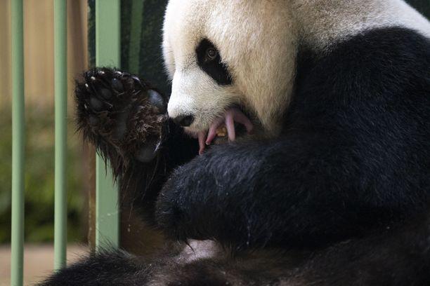 Huan Huan on synnyttänyt jo kolme pentua.