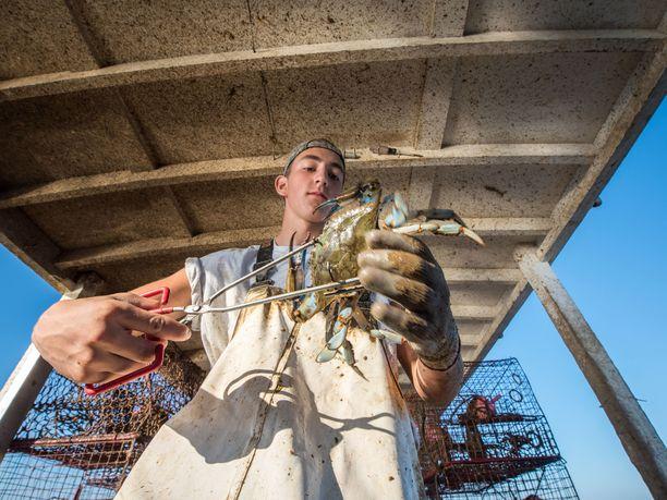 Kalastaja on pyydystänyt sinitaskurapuja Marylandissa Yhdysvalloissa. Ravut ovat sieltäpäin kotoisin.