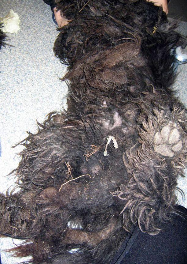 Koiran turkki huopautuu, jos sitä ei hoida. Kuva suomalaisesta pentutehtaasta.