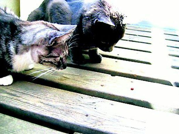 Kissamme huomasivat kesän ensimmäisen leppäkertun. :)