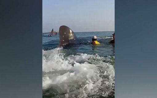Pelastusoperaatio kesti yli tunnin – kalastusverkkoon jumiin jäänyt valashai pelastettiin Filippiineillä