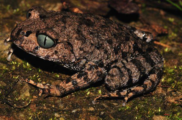 Sinisilmäinen sammakko on eräs vasta löydetyistä lajeista.