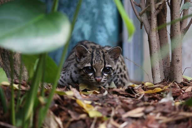 Korkeasaaren margai on kissojen tapaan yksineläjä, mutta saattaa saada seuraa lähitulevaisuudessa.