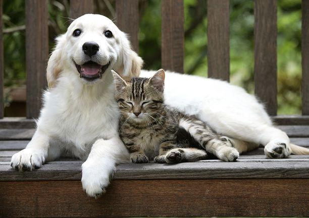 Kissat eivät juurikaan osoita kiintymystä omistajiaan kohtaan. Koirat rakastavat omia ihmisiään.