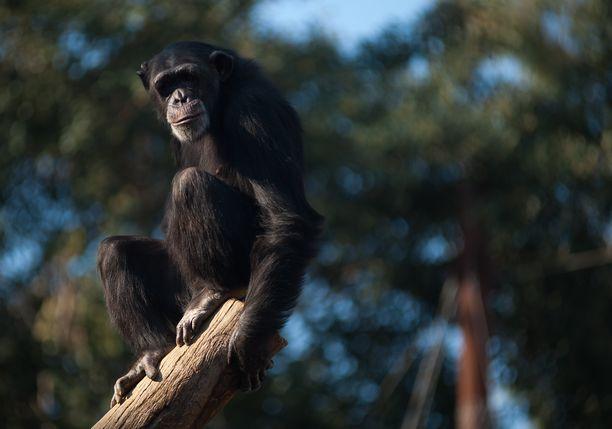Simpanssit ovat erittäin älykkäitä. Luonnossa niitä arvioidaan elävän enää noin 150 000 - 250 000 yksilöä.