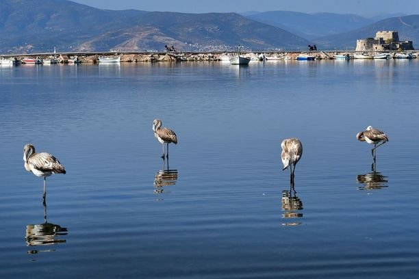 Muuttolinnut tekevät nyt matkaansa etelään. Nämä flamingot pysähtyivät matkallaan lepäämään vähäksi aikaa Nea Klioksen kosteikolle Kreikkaan.